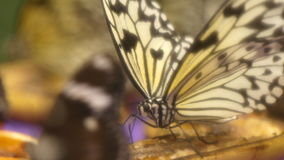 Beautiful butterfly eating stock footage