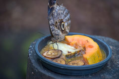 Beautiful butterfly  eating or feeding many fruits Royalty Free Stock Photography