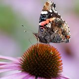 Beautiful butterfly on echinacea flower. Beautiful motley butterfly sits on a bright flower Echinacea royalty free stock images