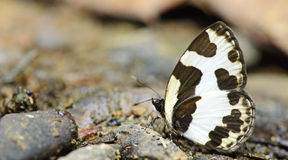 Beautiful Butterfly, Elbowed Pierrot  Caleta elna Stock Photography