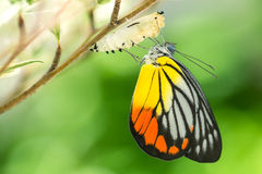Beautiful butterfly. Emerges from a cocoon Royalty Free Stock Photography