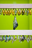 Butterfly emerges from chrysalis. A beautiful butterfly emerges from her  chrysalises Stock Photo