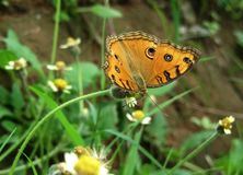 Beautiful butterfly feeding on the flowering grass stock photos