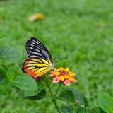 Beautiful butterfly feeding on flowers Stock Photos