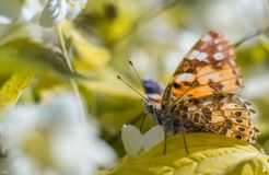 Beautiful butterfly feeding on a jasmine flower. Closeup. Macro of a Painted Lady butterfly vanessa cardui perched in jasmine shrub stock images