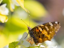 Beautiful butterfly feeding on jasmine flowers. Beautiful butterfly looking up, ready to jump to the next flower.  Macro of a Painted Lady butterfly vanessa royalty free stock images