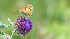 Free Beautiful Butterfly Feeding On Large Thistle. Proboscis Close-up. Stock Images - 120761554