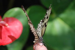 Beautiful butterfly. The finger facing the person Royalty Free Stock Photo