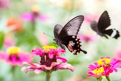 Beautiful butterfly on flower and blurred background. Beautiful butterfly with flower and blurred background attractive beauty black blue butterflies close up royalty free stock photography