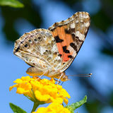 Beautiful butterfly on flower macro shot Royalty Free Stock Photos