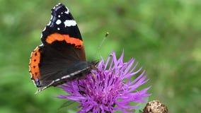 Beautiful butterfly on flower. Beautiful butterfly on purple flower stock video