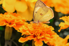 A beautiful butterfly on a flower Royalty Free Stock Image