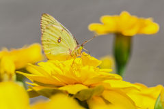 A beautiful butterfly on a flower Royalty Free Stock Photography