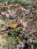Beautiful Butterfly on the flowers of a wild tree. Beautiful butterfly flowers wild tree royalty free stock images