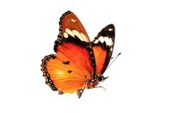 Beautiful butterfly flying isolated on white background