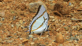 Beautiful Butterfly in forest. Beautiful Butterfly on ground in tropical forest stock video footage