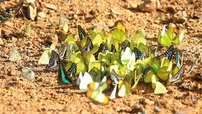 Beautiful Butterfly in forest. Beautiful Butterfly on ground in tropical forest stock video