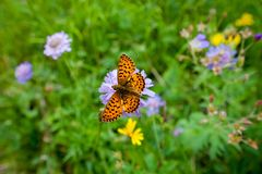 Beautiful butterfly Fritillary marks on the wings, on a purple mountain flower stock photo