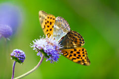 Beautiful butterfly in front of a green background. Stock Photos