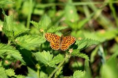 Beautiful butterfly with fully open wings in dark yellow to orange colors with dark spots flying above common nettle or urtica stock photos