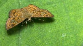 Beautiful Butterfly, Fulvous Pied Flat, Pseudocoladenia dan. Butterfly, Butterflies feed on green leaf, Fulvous Pied Flat, Pseudocoladenia dan Royalty Free Stock Photo