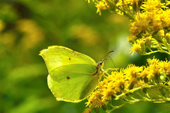 Beautiful butterfly(Gonepteryx rhamni) Stock Photography