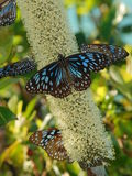 Beautiful Butterfly. On a grass tree flower near whitehaven beach lookout place,whitsunday Island, Queensland, Australia Royalty Free Stock Image