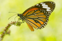 Beautiful butterfly. On green background Royalty Free Stock Photos
