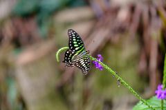 Beautiful butterfly. Green and black colored butterfly sitting on a flower stock photo