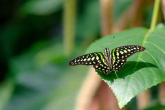 Beautiful butterfly. Green and black colored butterfly sitting on a flower royalty free stock images
