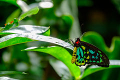 Beautiful butterfly. Green, blue and black colored butterfly sitting on a flower stock image