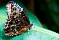 Beautiful butterfly on a green f Royalty Free Stock Photo