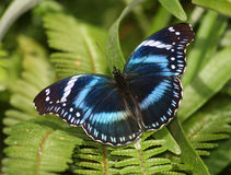 Beautiful  Butterfly on green fern plant Royalty Free Stock Image