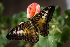 Beautiful butterfly on green flower leafs isolated, close up Stock Photo