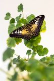 Beautiful butterfly on green flower leafs isolated, close up Royalty Free Stock Photography
