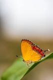 Beautiful butterfly on green leaf Royalty Free Stock Photography