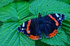 Beautiful butterfly on a green sheet in a garden Royalty Free Stock Photos