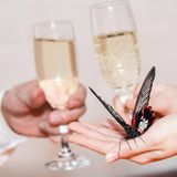 Beautiful butterfly in hands in front of two champagne glasses, Closeup, Square picture. Beautiful butterfly in hands in front of two champagne glasses in male Royalty Free Stock Image