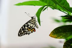 Beautiful butterfly. The butterfly hanging on leaf and very Stock Photo