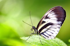Beautiful butterfly, Heliconian, piano key Royalty Free Stock Photos
