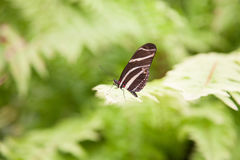 Beautiful butterfly Heliconius charitonius on green leaf Stock Photos