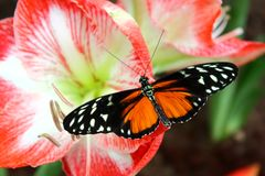 The beautiful butterfly Heliconius Hecale resting on a brightly coloured flower. The beautiful butterfly Heliconius Hecale with Orange and black wings resting on Stock Photos