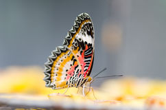 Beautiful butterfly holding on piece of fruit Stock Images