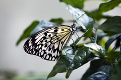 Beautiful butterfly. Insect in the nature habitat. Butterfly sitting in the green leaves. Indonesia, Asia. Wildlife scene from green forest Stock Photo