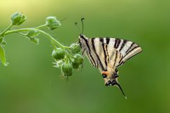 Beautiful butterfly Iphiclides Podalirius. Family of sailing boats Papilionidae in the early morning in a clearing among forest flowers royalty free stock photo
