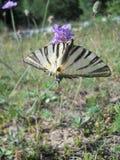 Beautiful butterfly `Iphiclides podalirius L.` Stock Image