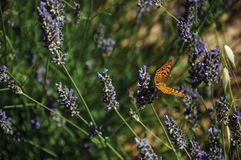 Beautiful butterfly landed on lavender flower. In green garden, on sunny day at the Marvao Castle. An amazing medieval fortified village perched on a granite stock image