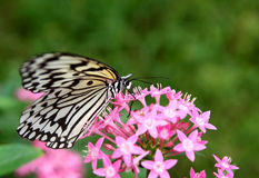 Beautiful butterfly - large tree nymph and flower. Beautiful butterfly - large tree nymph working flower royalty free stock photo