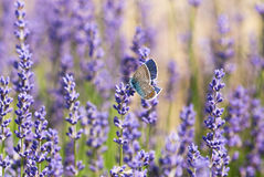 Beautiful butterfly and lavender flowers Stock Photos