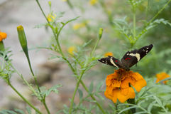 Beautiful butterfly laying over an orange dahlia. Butterfly and orange flowers garden Royalty Free Stock Photo